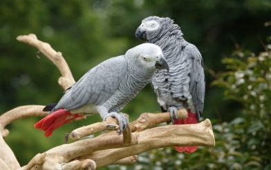 Keeping African Grey parrots as pets